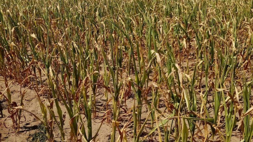 Cyfryzacja szacowania strat spowodowanych przez suszę